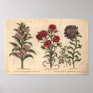 1757 botaniska blommakonsttryck Balsamina Poster