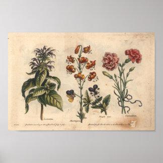 1757 botaniska nejlika för blommakonsttryck poster