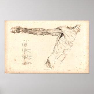 1833 muskler av tryck för armvintageanatomi poster