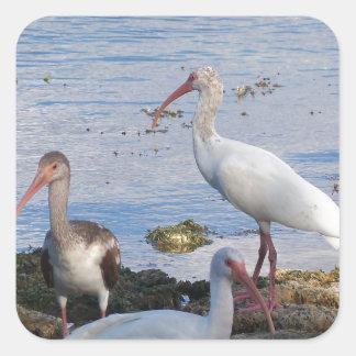 3 Ibis på kusten av den Florida fjärden Fyrkantigt Klistermärke