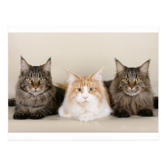 3 maine coons vykort