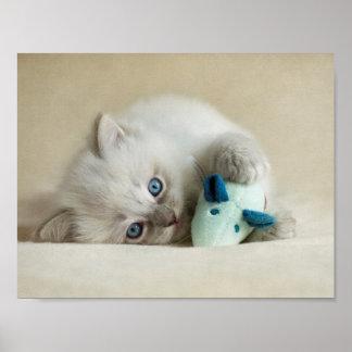 6 vecka gammal Ragdoll kattunge Poster