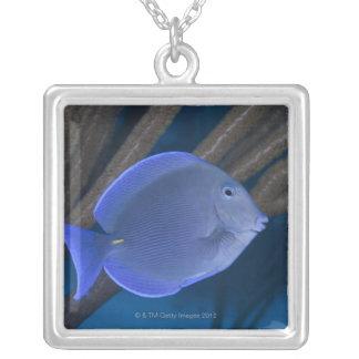 Acanthuruscoeruleus med havet silverpläterat halsband