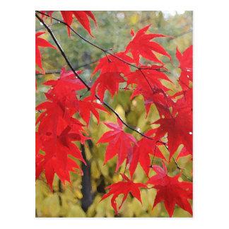 Acer palmatum 'Fireglow Vykort