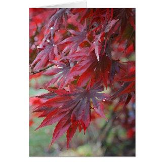 Acer palmatum 'Trompenburg Hälsningskort