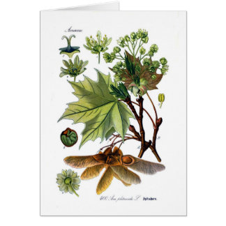 Acer platanoides (norgelönn) hälsningskort