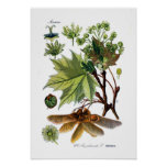 Acer platanoides (norgelönn) posters