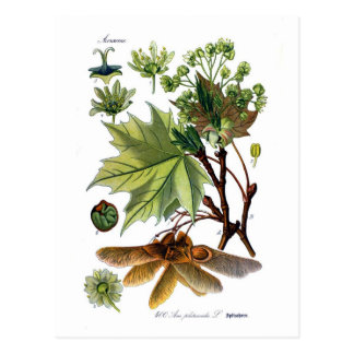 Acer platanoides (norgelönn) vykort