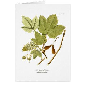 Acer pseudo-platanus hälsningskort