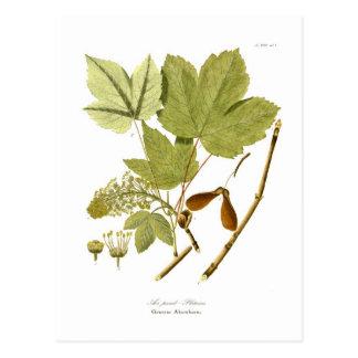 Acer pseudo-platanus vykort