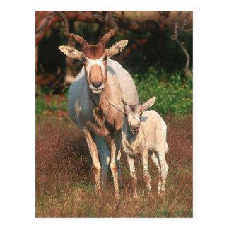 Addax/vitantilop/Screwhorne antilop Vykort
