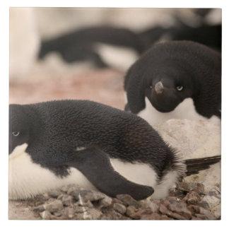 Adelie pingvin, Pygoscelisadeliae, på att bygga bo Kakelplatta