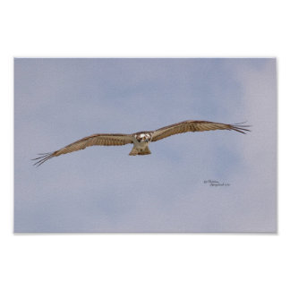 Affisch för fiskgjusefågelflyg