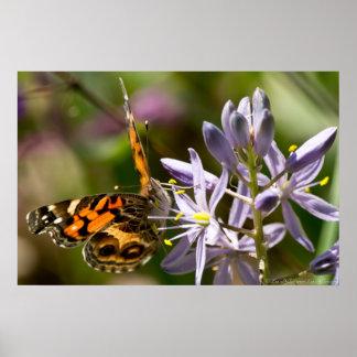 Affisch för hyacint för vild för amerikandamfjäril
