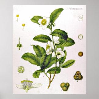 Affisch för träd för CamelliaSinensis Thea