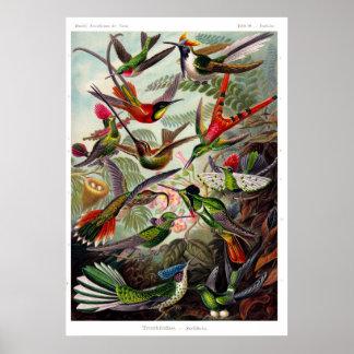 Affisch för Trochilidae (Hummingbird)