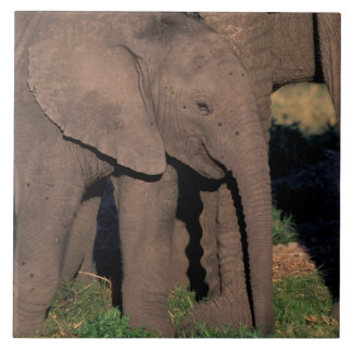 Afrika Botswana, Okavango delta. Elefanter Kakelplatta