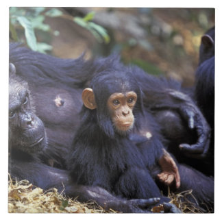 Afrika East Africa, Tanzania, kvinnliga Gombe NP Kakelplatta