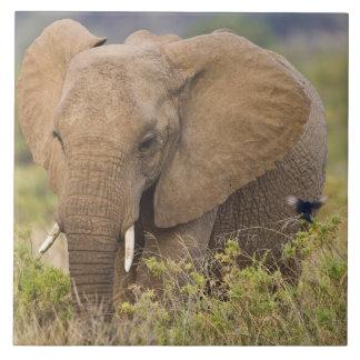 Afrika. Kenya. Elefant på Samburu NP. Kakelplatta