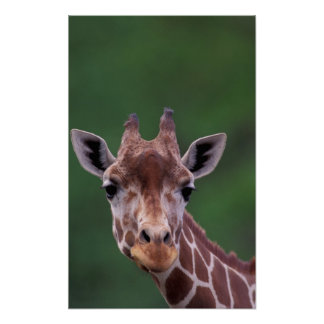 Afrika Kenya, Impalaranch. Reticulated Poster