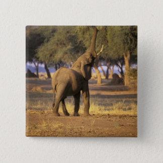Afrika Kenya, Masai Mara. Elefant (Loxodonta Standard Kanpp Fyrkantig 5.1 Cm