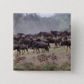 Afrika Kenya, Masai Mara. Flockar av gazellen, Standard Kanpp Fyrkantig 5.1 Cm