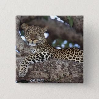 Afrika. Kenya. Masai Mara. Leopard (Panthera Standard Kanpp Fyrkantig 5.1 Cm