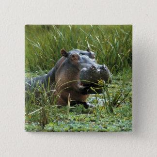 Afrika Kenya, Masai Mara NR. En morflodhäst och Standard Kanpp Fyrkantig 5.1 Cm