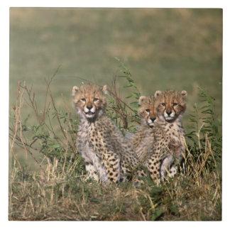 Afrika; Kenya; Masai Mara; Tre cheetahungar Kakelplatta