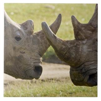 Afrika. Kenya. VitRhinos som slåss på sjön Kakelplatta