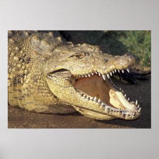 Afrika Sydafrika Nile krokodil Poster