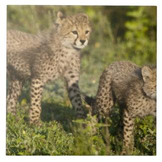 Afrika. Tanzania. Cheetahungar på Ndutu i Kakelplatta