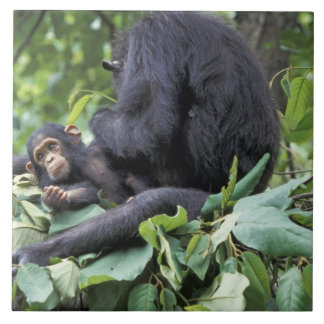 Afrika Tanzania, Gombe NP kvinnlig schimpans Kakelplatta