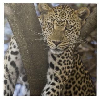 Afrika. Tanzania. Leopard i träd på Serengeti Kakelplatta