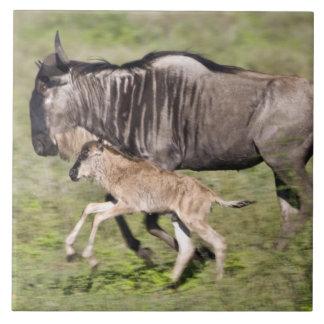 Afrika. Tanzania. Wildebeestmor och bebis på Kakelplatta