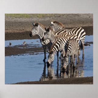 Afrika. Tanzania. Zebror som in dricker på Ndutu Poster