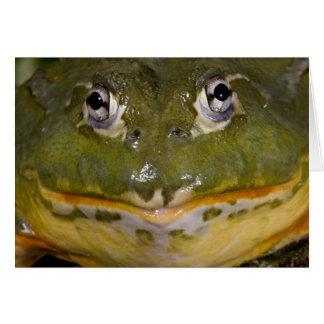 Afrikansk gräva Bullfrog, Pyxicephalus Hälsningskort