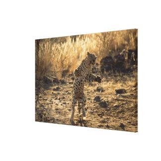Afrikansk leopard på hind ben, Namibia, afrika Canvastryck