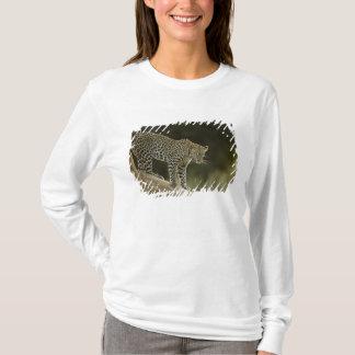 Afrikansk Leopard, Pantherapardus, i ett träd i 2 T-shirts