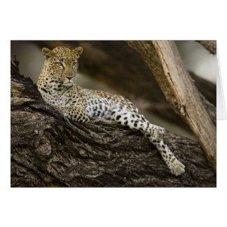 Afrikansk Leopard, Pantherapardus, i ett träd in Hälsningskort
