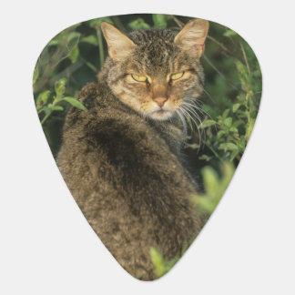 Afrikansk vild katt-, Felislibyca), förfader av Plektrum