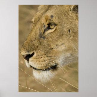 Afrikanskt lejont, Panthera leo, tätt upp porträtt Poster