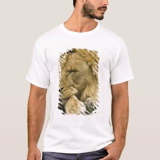 Afrikanskt lejont, pantheraen leo som lägger tröja
