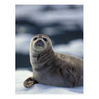 Alaska southeastregionhamn förseglar på is vykort