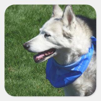 Alaskabo Husky klistermärkear Fyrkantigt Klistermärke