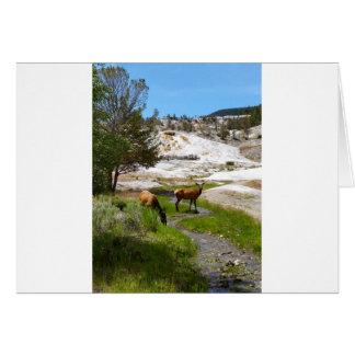 Älg på Mammoth Hot Springs Hälsningskort