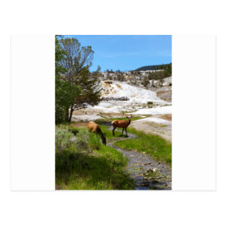 Älg på Mammoth Hot Springs Vykort