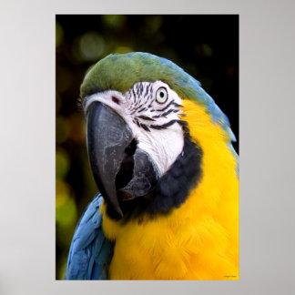 Amazonian papegojaporträtt poster