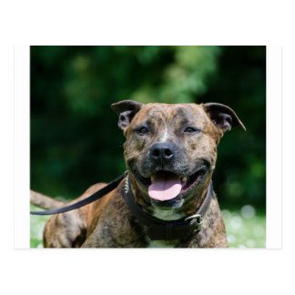 american-staffordshire-terrier-laying.png vykort
