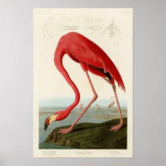AmerikanFlamingoJohn Audubon fåglar av Amerika Poster